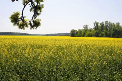 Bioheizöl entsteht durch die Beimengung von Biokraftstoff der u.a. aus Raps gewonnen wird
