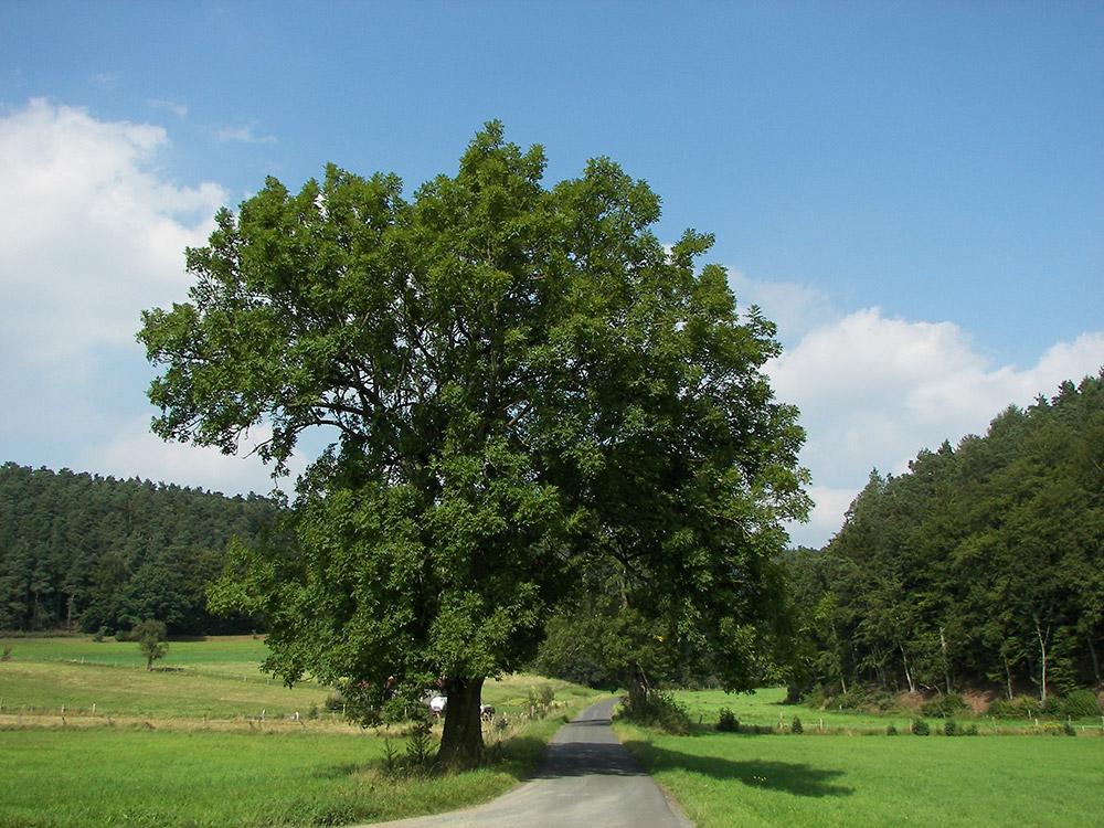 Gemeine Esche (Fraxinus excelsior) im Burgwald, Hessen